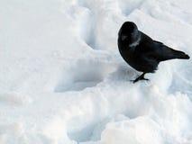 在白色雪的黑鸟 图库摄影