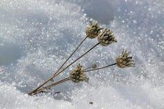 在白色雪背景的干花  免版税库存照片