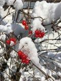 在白色雪,圣约翰的红色莓果im Pongau,奥地利在冬天 免版税库存照片