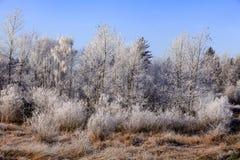 在白色霜盖的编组树 库存照片