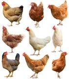 在白色鸡隔绝的套 库存图片