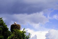 在白色鹳的巢的小鸡在风暴,哥罗德诺,白俄罗斯以后的 库存图片