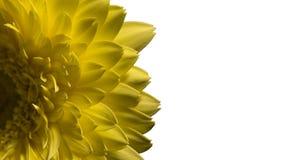 在白色,宏观开花隔绝的黄色花大丁草宏指令  库存图片