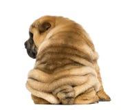 (11个星期的年纪)被隔绝的后面看法Shar pei小狗开会  库存图片