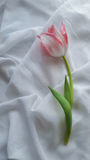 在白色织品的花郁金香 免版税图库摄影