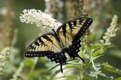 在白色蝴蝶灌木丛的Swallowtail 库存照片