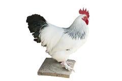 在白色-隔绝的雄鸡 库存照片