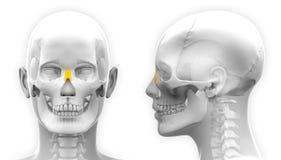 在白色-隔绝的女性鼻骨头骨解剖学 免版税库存照片