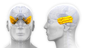 在白色-隔绝的男性颞叶脑子解剖学 库存图片