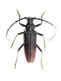 在白色(Cerambyx cerdo)隔绝的伟大的山羊座甲虫 库存照片