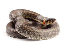 在白色(Natrix natrix)隔绝的草蛇 免版税库存照片
