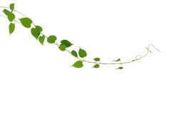 在白色b隔绝的心形的绿色叶子攀缘藤本植物 库存照片