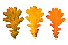 在白色bac隔绝的分类不同的秋天橡树叶子 图库摄影
