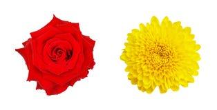 在白色backg和黄色菊花花隔绝的红色玫瑰 免版税库存图片
