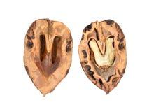 在白色backg或满州的核桃隔绝的胡桃属mandshurica 图库摄影