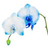 在白色backg隔绝的真正的蓝色的兰花安排焦点 图库摄影
