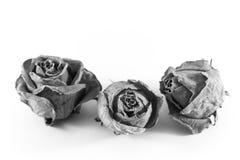 在白色backgound的三朵老玫瑰,报道用尘土和蜘蛛网,灰色极谱 免版税库存照片