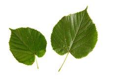 在白色backgr隔绝的椴树两片绿色叶子 免版税库存图片