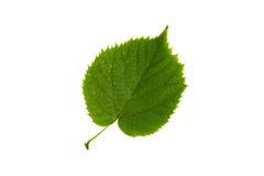在白色backgr隔绝的椴树高分辨率绿色叶子 库存图片