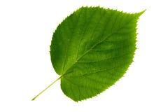 在白色backgr隔绝的椴树绿色叶子 图库摄影