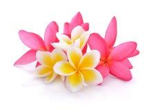 在白色backgro隔绝的热带花赤素馨花羽毛 库存照片