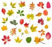 在白色backgro隔绝的五颜六色的秋叶的汇集 免版税库存图片