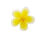 在白色backgro (羽毛)隔绝的热带花赤素馨花 免版税库存照片