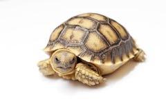 在白色backgrou的非洲被激励的草龟或陡壁峡口蛇头草属sulcata 免版税库存图片