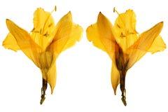 在白色backgrou隔绝的被按的和干黄色花百合 免版税库存图片