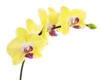 在白色backgrou隔绝的黄色紫色兰花的开花的枝杈 免版税图库摄影