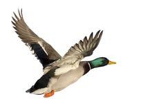 在白色backgroung隔绝的飞行鸭子 库存照片