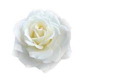 在白色blackground的软的迷离焦点白色玫瑰与拷贝空间 图库摄影