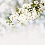在白色bokeh背景的开花的樱桃分支 免版税库存图片
