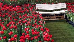 在白色V形的木椅子附近的红色郁金香 免版税库存图片