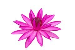 在白色waterlily查出的粉红色 库存图片