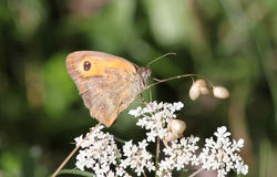 在白花上的橙色蝴蝶 免版税库存照片