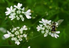 在白花的传粉者 免版税库存图片