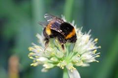 在白花的土蜂 免版税库存照片