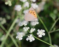 在白花的橙色蝴蝶II 免版税图库摄影