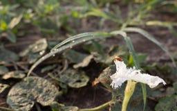 在白花的瓢虫 免版税库存照片