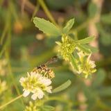 在白花的纸质黄蜂 库存照片