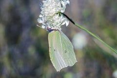 在白花的绿色蝴蝶Gonepteryx rhamni硫磺 库存图片