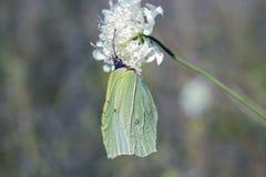 在白花的绿色蝴蝶Gonepteryx rhamni硫磺 免版税库存照片