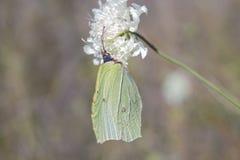 在白花的绿色蝴蝶Gonepteryx rhamni硫磺 免版税图库摄影