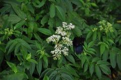 在白花的美丽的Papilio memnon蝴蝶 库存照片