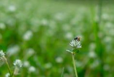 在白花的蜂收获甜水 免版税库存照片
