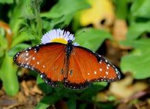 在白花的蝴蝶在庭院里 免版税库存照片