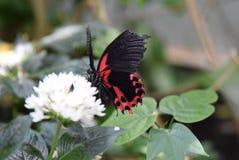 在白花的黑和红色蝴蝶 免版税库存图片