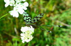 在白花的绿色黑蜻蜓 免版税库存图片