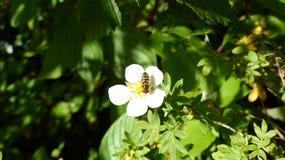 在白花的黄蜂 免版税库存照片